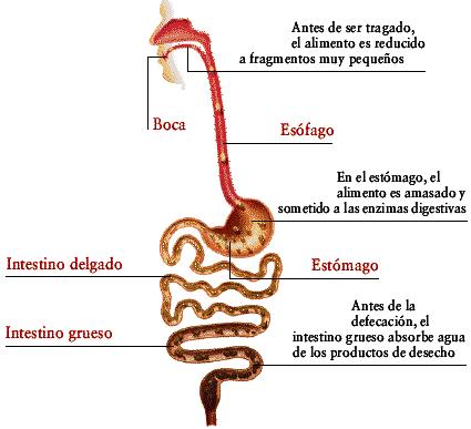 Aparato Digestivo del cuerpo humano y partes