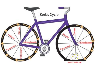 KREB biCYCLE rgb