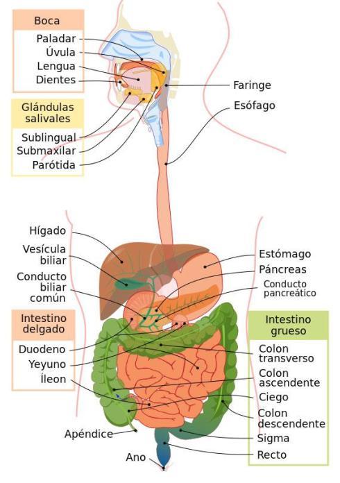 digestionf